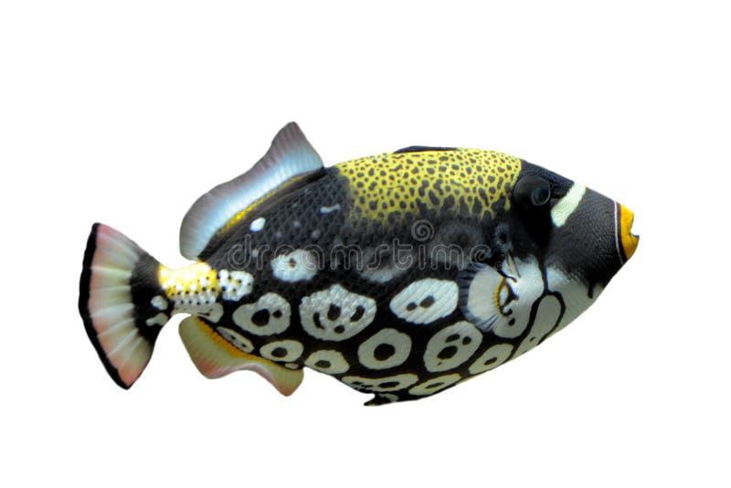 Clown Triggerfish - Balistoides conspicillum stockbilder