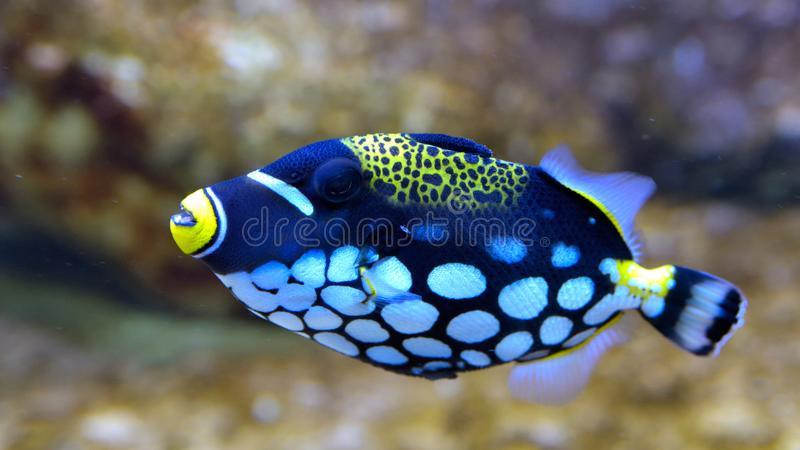 Clown Triggerfish, Balistoides-conspicillum, im Aquarium lizenzfreies stockfoto
