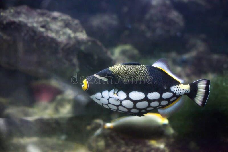 Clown-Triggerfish Balistoides-conspicillum im Aquarium stockfotografie