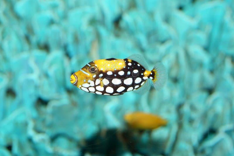 Clown triggerfish royalty free stock image
