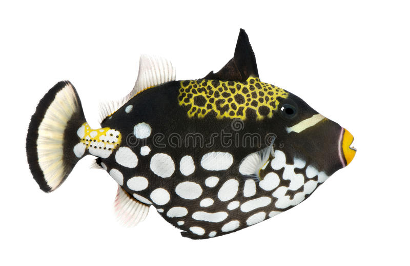 Clown triggerfish - conspicillum Balistoides stock afbeeldingen