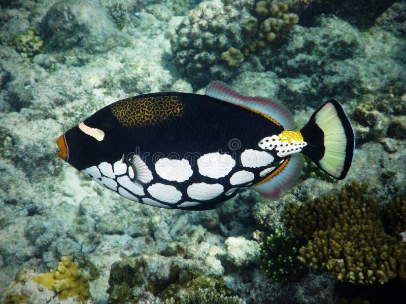 Clown triggerfish in de Maldiven stock fotografie