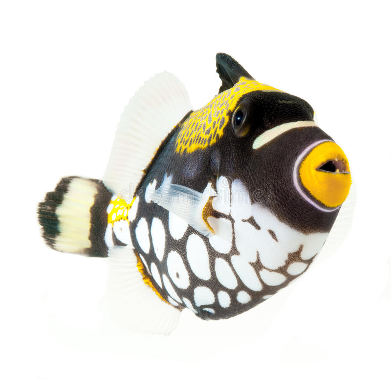 Free Clown Triggerfish, Reef Fish, Isolated On White Ba Stock Photography - 24377212