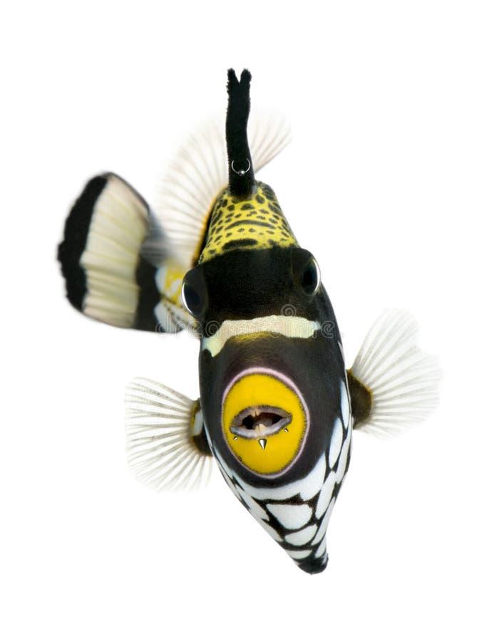 Clown Triggerfish vor weißem Hintergrund stockfotos