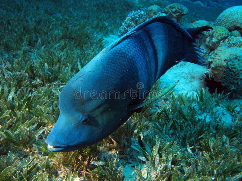 Download Clown Wrasse stock image. Image of aquarium, adult, aquatic - 6847329