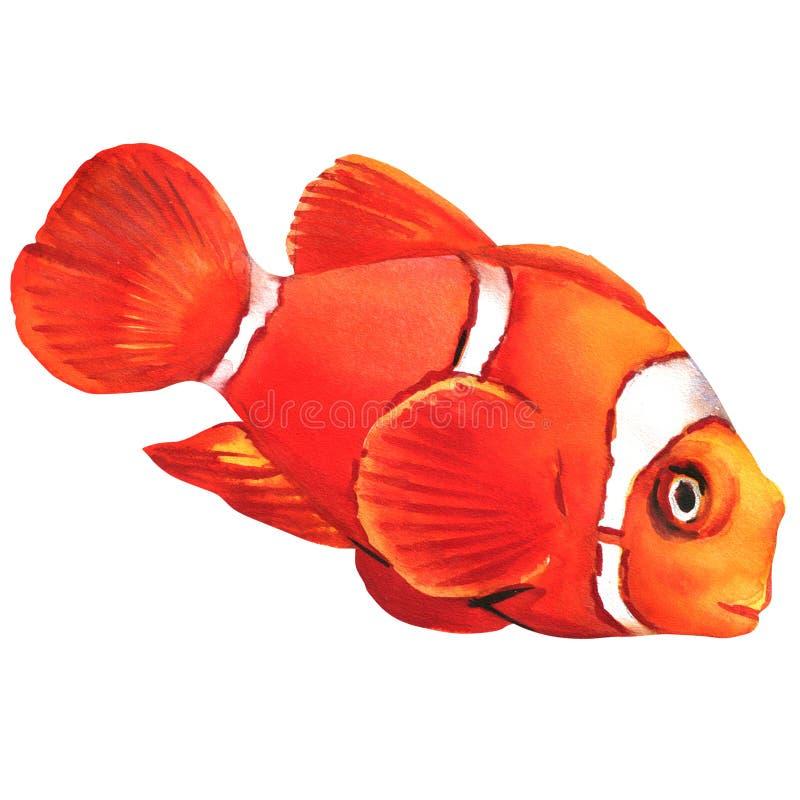 Clownanemonenfische lokalisiert stockbild