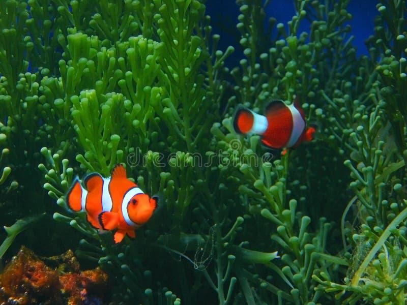 Clownfische lizenzfreies stockbild