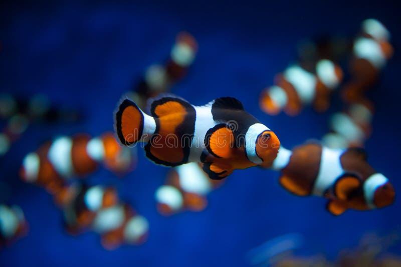 Clownfische lizenzfreie stockfotos