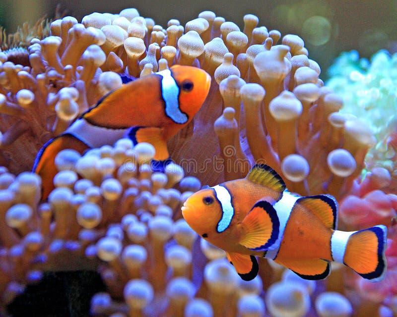 Clownfische lizenzfreies stockfoto