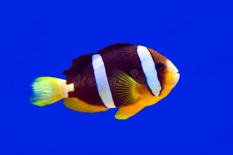 Clownfische Clark-Clown und -aquarium auf blauem Hintergrund lizenzfreie stockfotografie