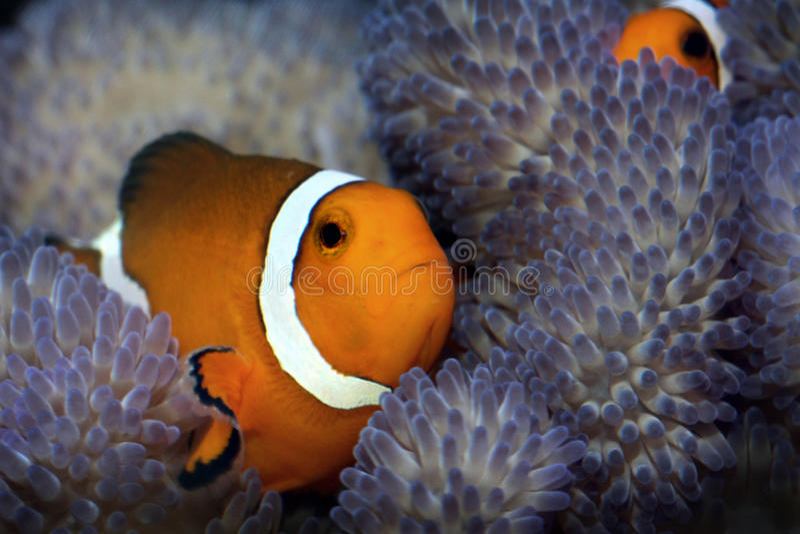 Clownfische in der Anemone stockfotos