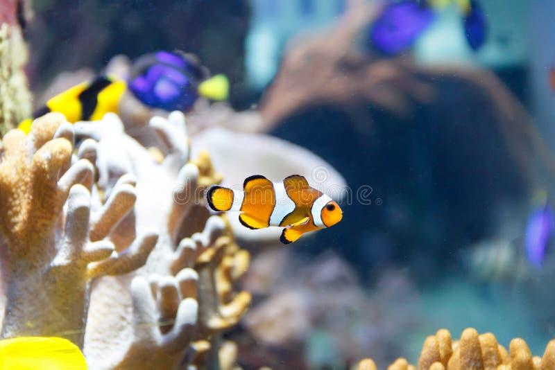 Clownfische des orange Gelbs auf Riffhintergrund lizenzfreie stockbilder
