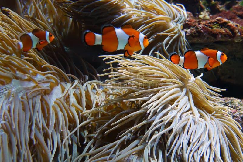 Clownfische, die unter Anemone spielen lizenzfreie stockbilder