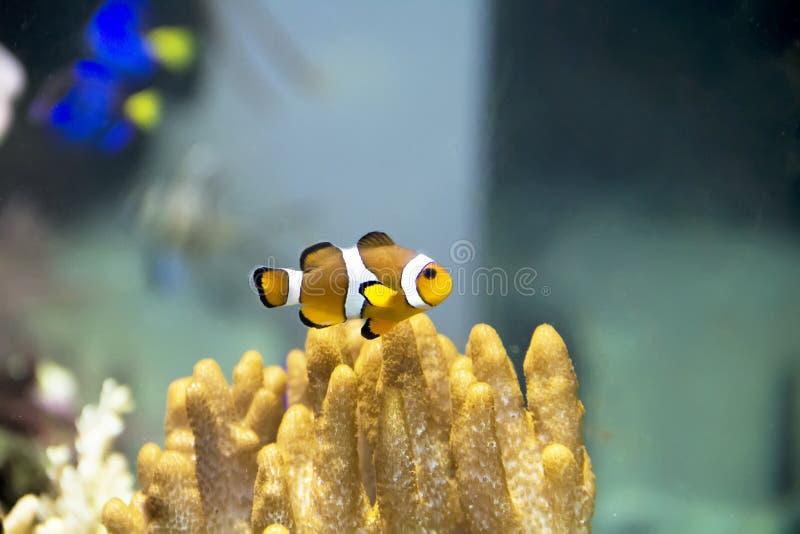 Clownfische im Zoo lizenzfreies stockfoto
