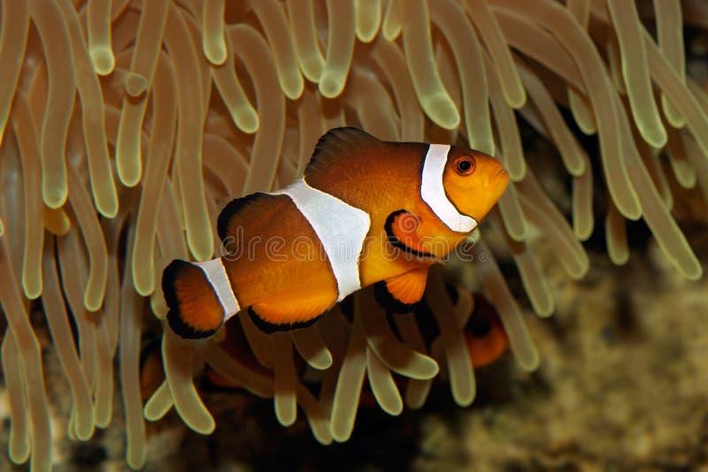 Clownfische und -anemone stockfoto