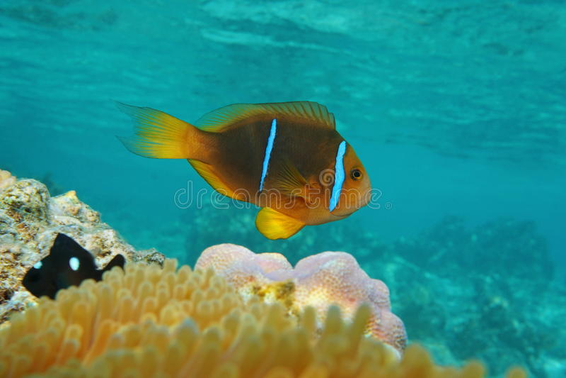 Clownfish双锯鱼橙色飞翅anemonefish 库存照片