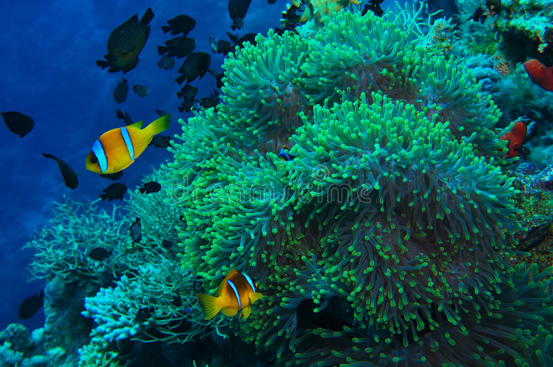 Clownfish和银莲花属在热带珊瑚礁 库存照片