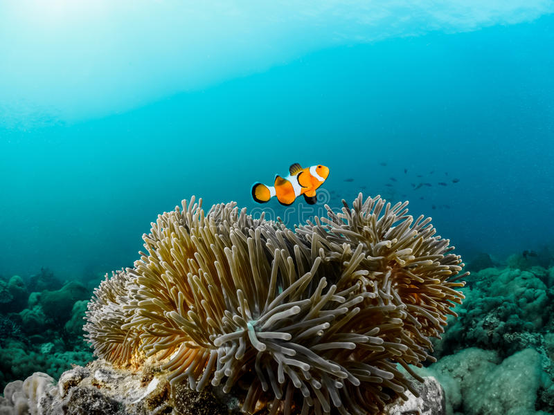 Clownfish和银莲花属 免版税库存图片