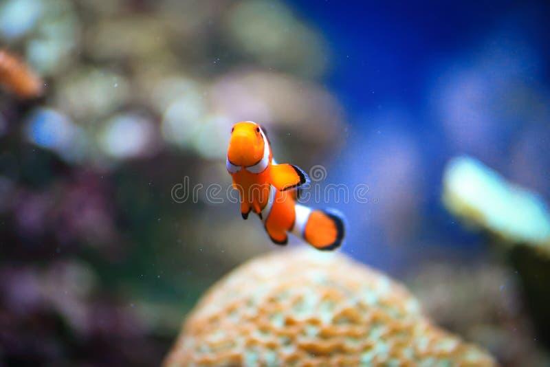 Clownfish或Amphiprioninae 免版税库存照片