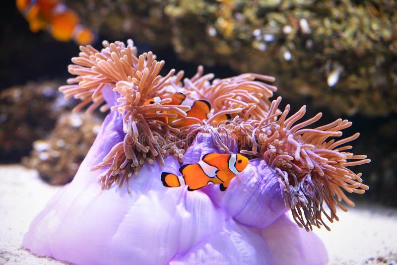 Clownfish或anemonefish在海葵背景 图库摄影