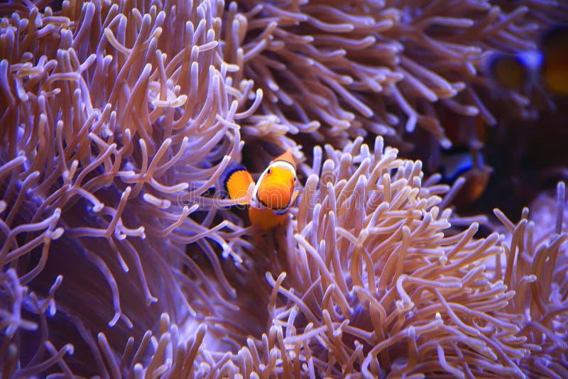 Clownfish或anemonefish在海葵背景 库存照片
