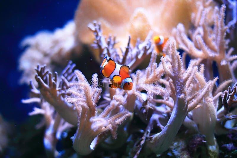 Clownfish或anemonefish在珊瑚礁 免版税库存图片