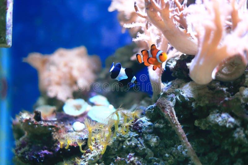 Clownfish或anemonefish在珊瑚礁 库存图片
