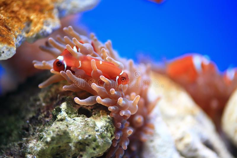 Clownfish或Anemonefish 免版税库存照片