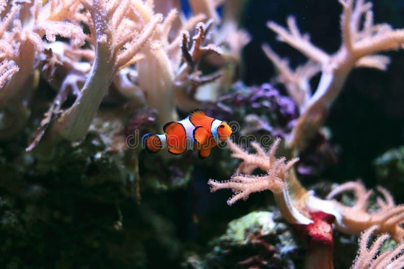 Clownfish或Anemonefish 库存照片