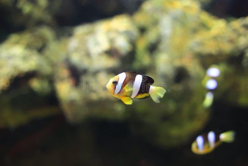 Clownfish或Anemonefish 免版税图库摄影