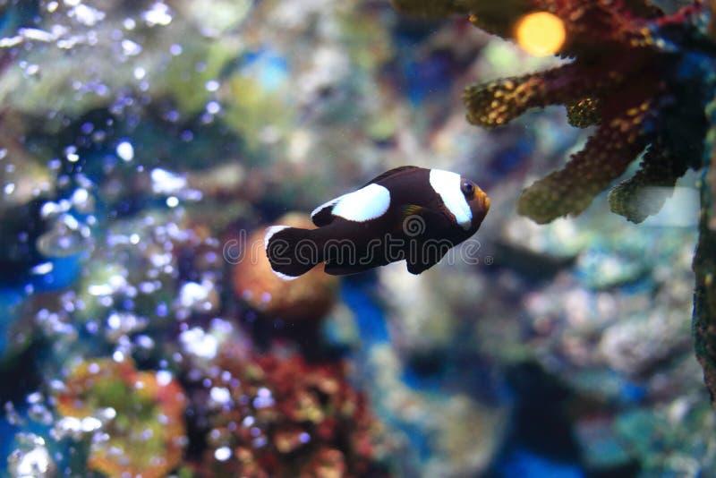 Clownfish或Anemonefish 库存图片