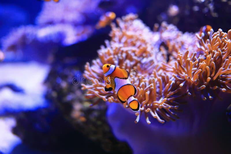 Clownfish或Anemonefish 图库摄影