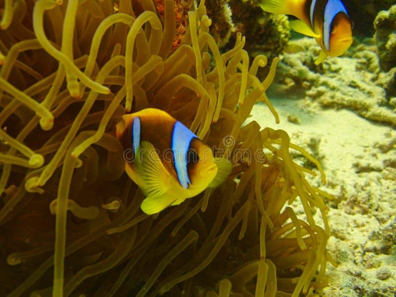 clownfish游泳在银莲花属之间 库存图片
