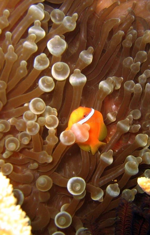 clownfish蕃茄 图库摄影