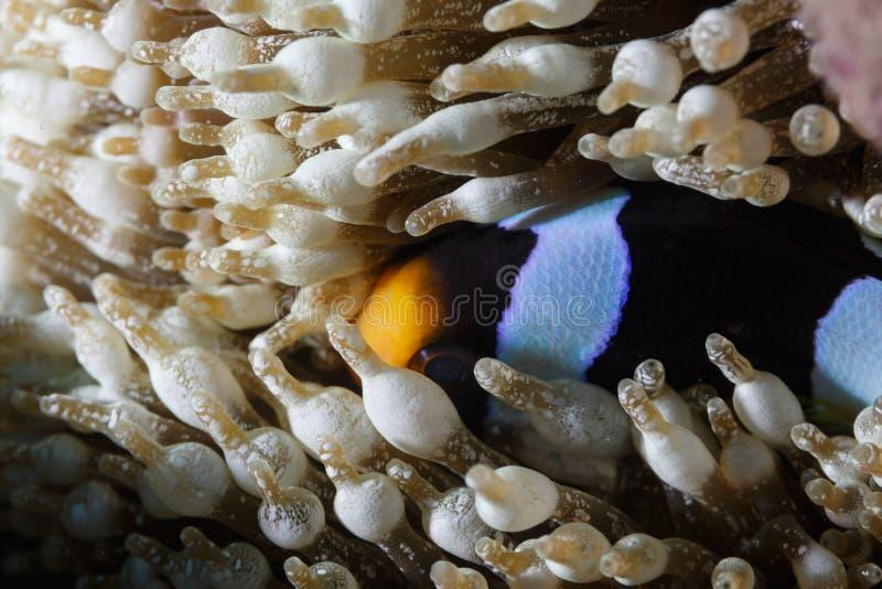 Clownfish,蓝色和黑镶边银莲花属鱼,掩藏在海葵触手 免版税库存图片