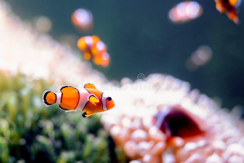 Clownfish, Amphiprioninae,在与礁石的水族馆坦克作为backgro 免版税库存照片