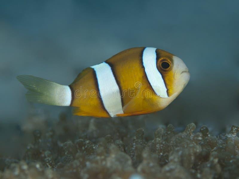 Clownfish à queue jaune image stock