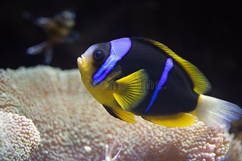 Clownfish  photographie stock libre de droits