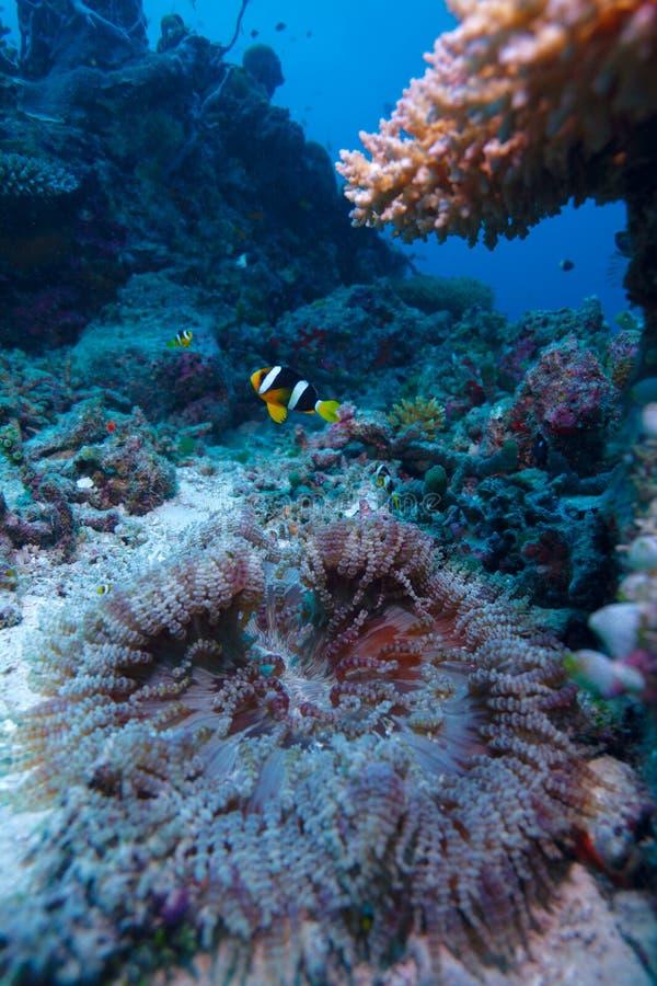 Clownfish à queue jaune avec l'actinie photographie stock libre de droits