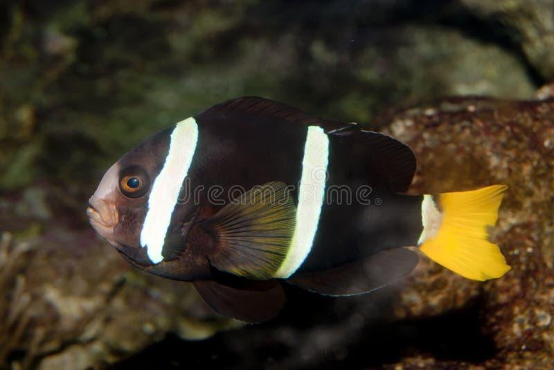 Clownfish à queue jaune (clarkii d'Amphiprion) photos libres de droits