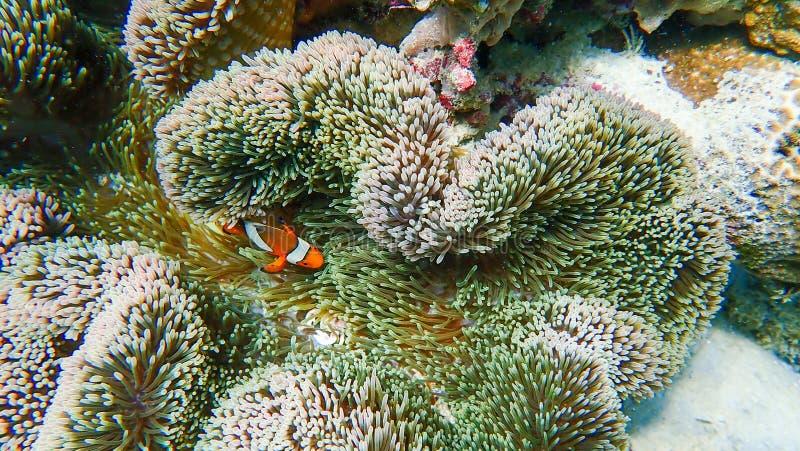 Clownfish łowi z dennym anemonem pod morzem obraz royalty free