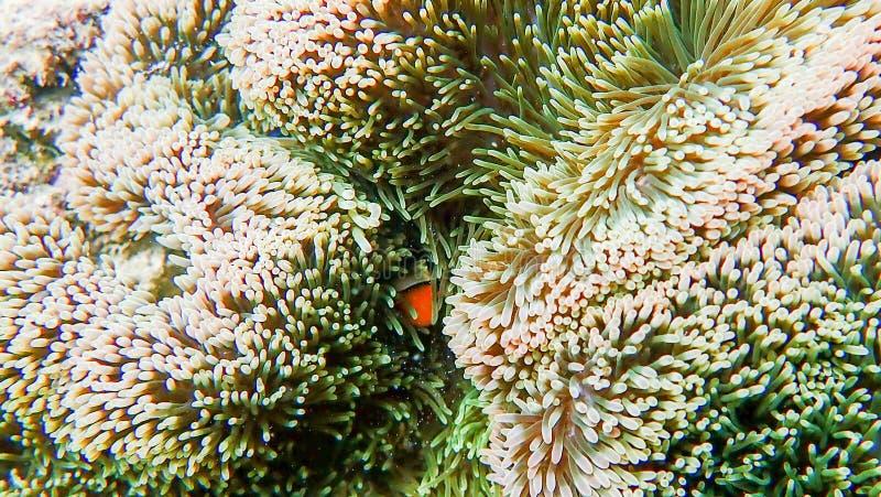 Clownfish łowi z dennym anemonem pod morzem zdjęcia royalty free