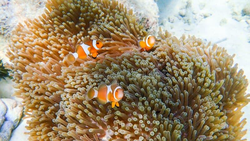 Clownfish łowi z dennym anemonem pod morzem zdjęcie royalty free