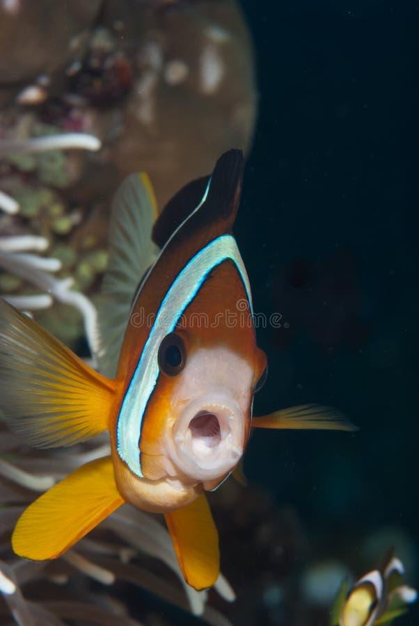 clownfish μουτρώνοντας στοκ εικόνες με δικαίωμα ελεύθερης χρήσης