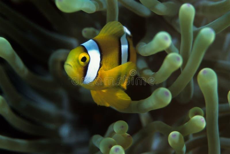 Clownfish imagenes de archivo