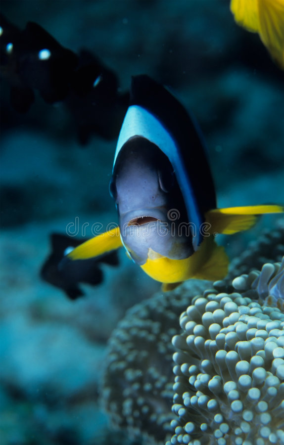 Clownfish imagens de stock royalty free