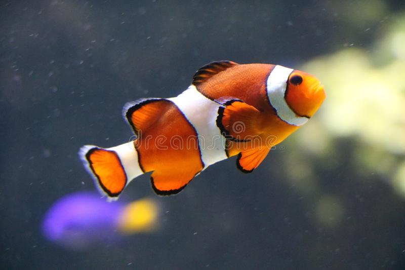 Clownfish obraz stock