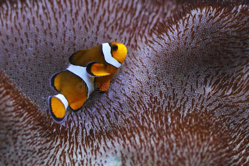 Clownfish. Or anemonefish are fishes from the subfamily Amphiprioninae in the family Pomacentridae. About twenty eight species are recognized, one in the genus royalty free stock photos