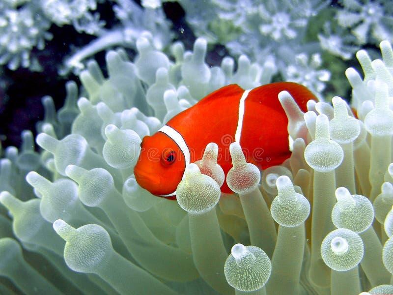 Clownfish. In the blue sea like nimo
