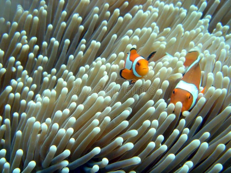 clownfish 免版税图库摄影